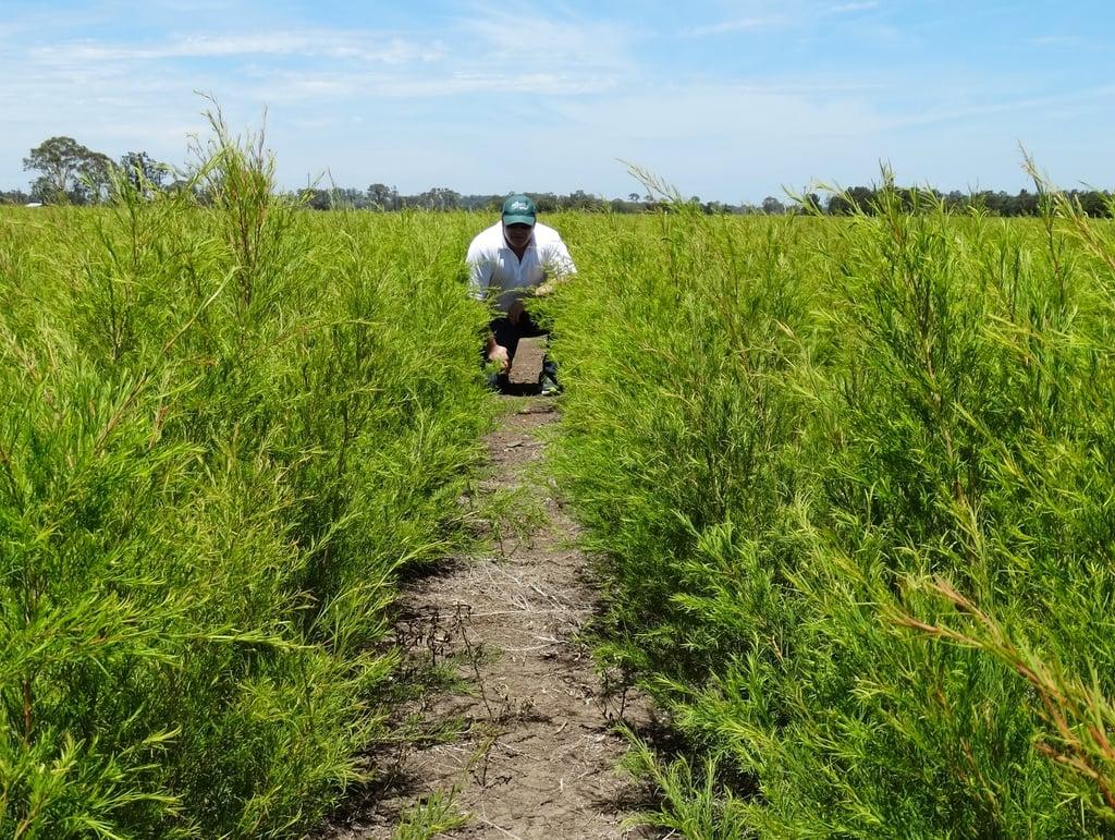 Alan Brown, CSO/Owner, in tea tree field in Australia