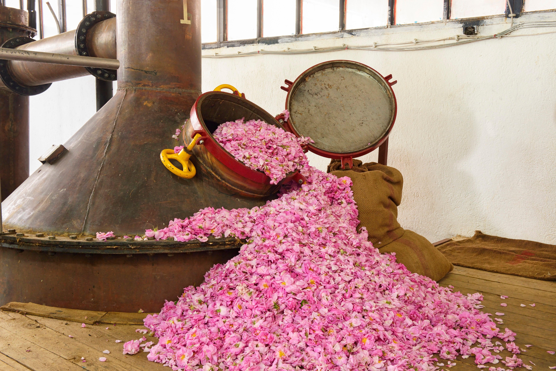 Distill rose oil 6000x4004-1