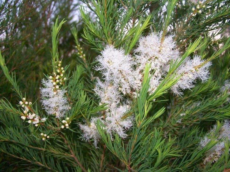 Lebermuth's Tea Tree Crop