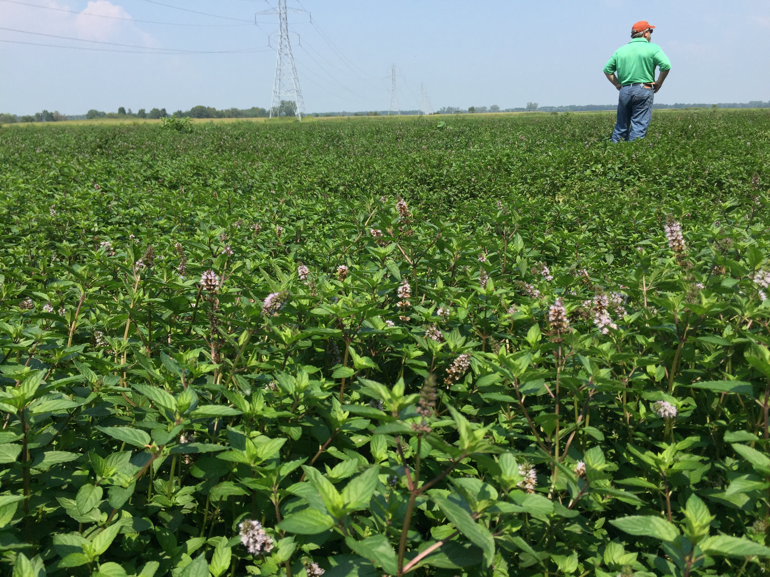 Rob Brown, CEO/Owner, surveying the Midwest USA mint field.