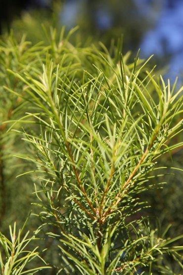 Lebermuth Tea Tree Crop.jpg