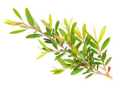 Tea-Tree-Thumb