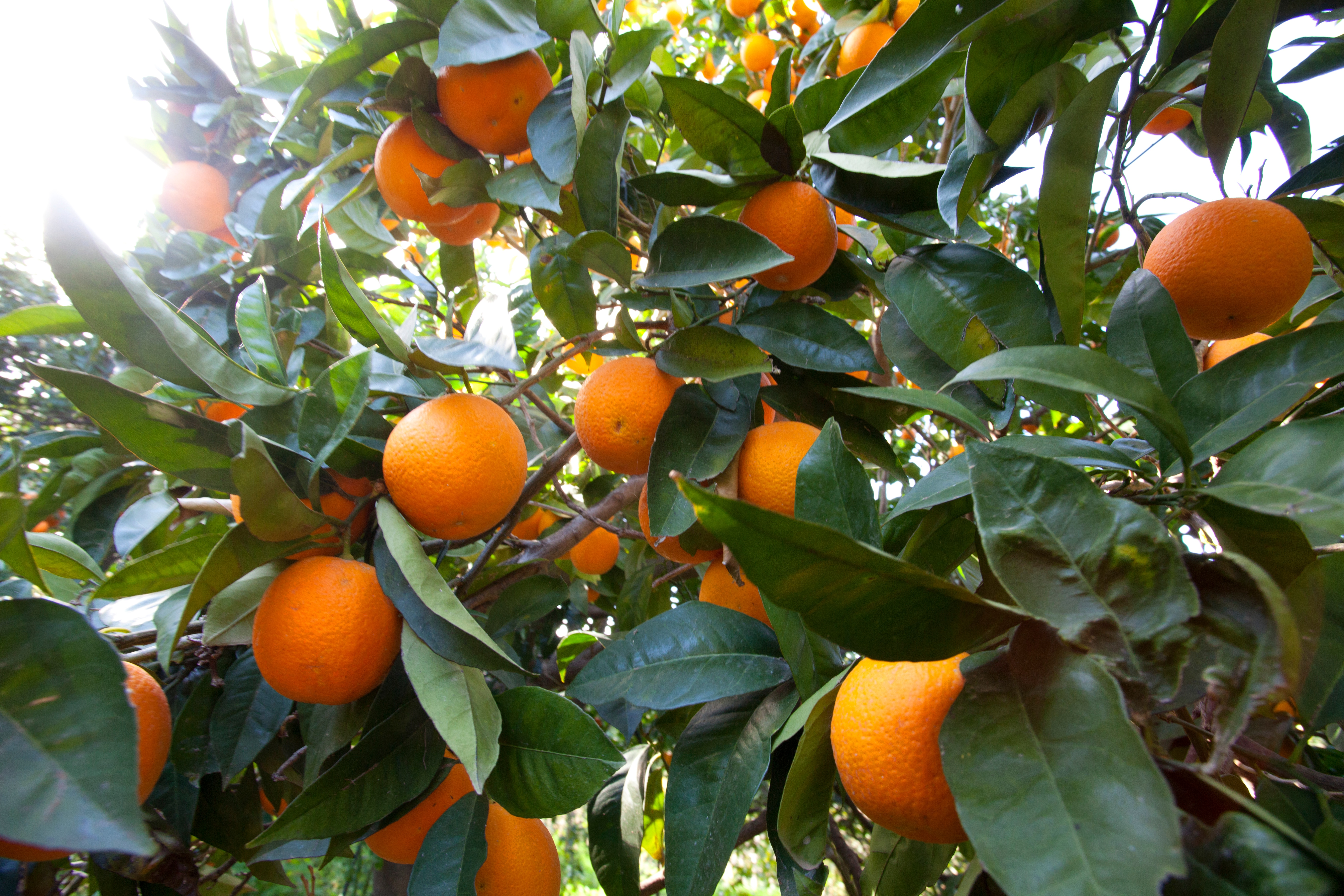 Photo taken by Alan Brown, CSO/Owner, at our citrus grower's grove in Italy