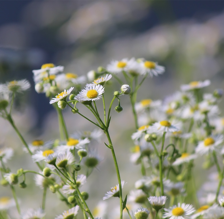 Chamomile is a common fragrance and ingredient in baby care products.