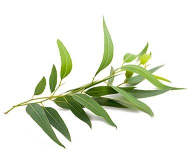 Eucalyptus Flavor