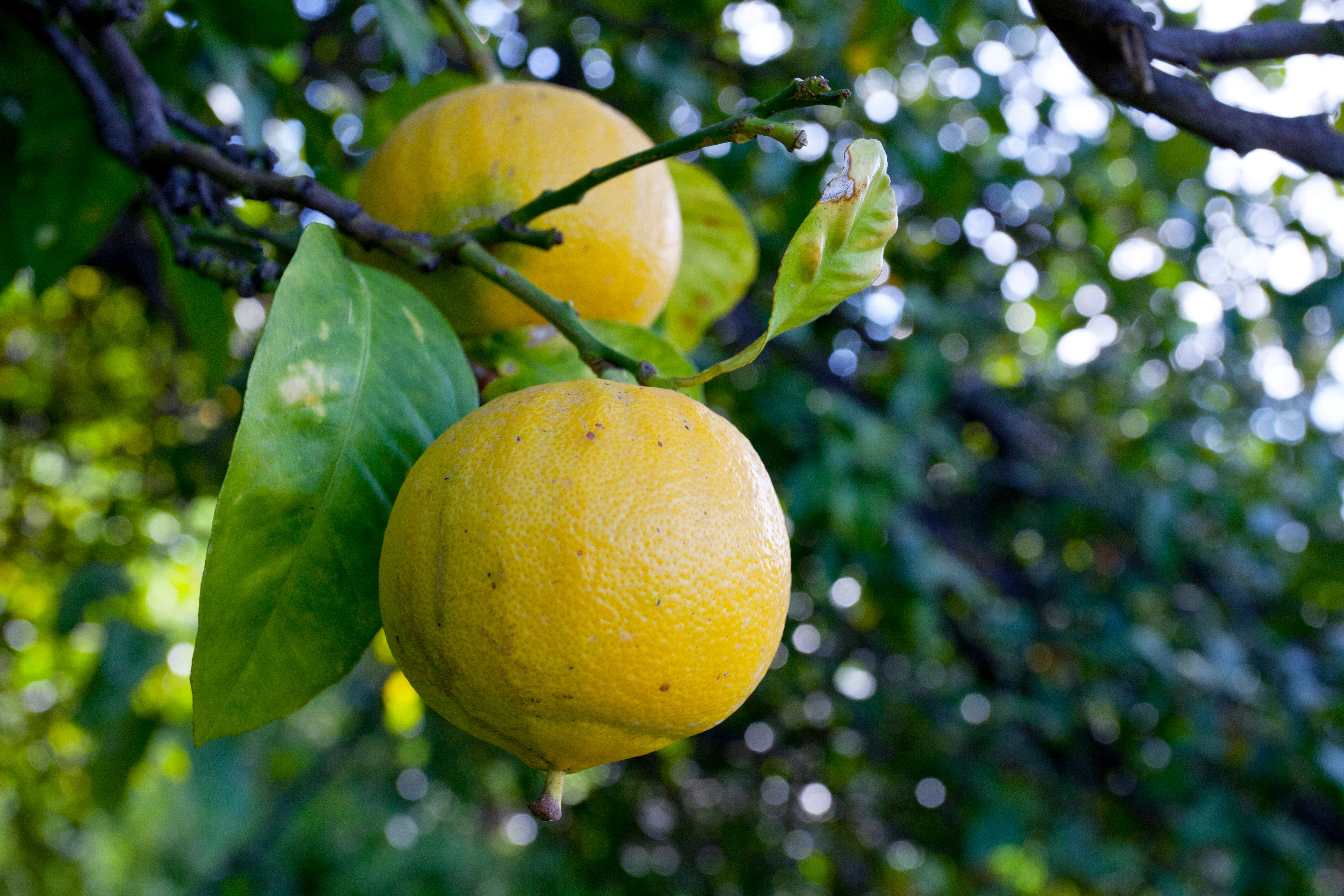 Photo taken by Alan Brown, CSO/Owner, visiting our grapefruit grower's groves in Italy