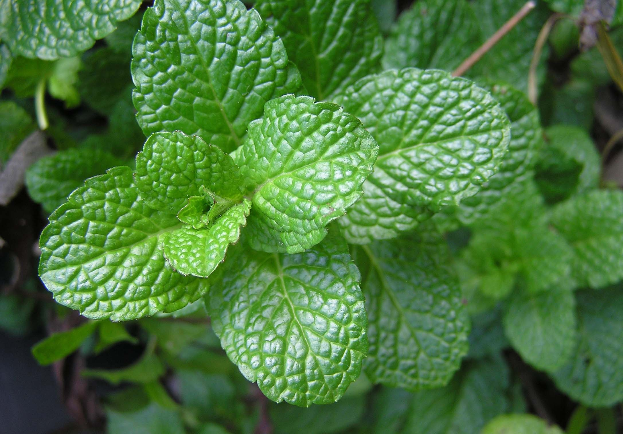 Great positions in peppermint, spearmint, and menthol crystals