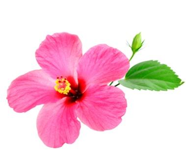 Hibiscus Flavor