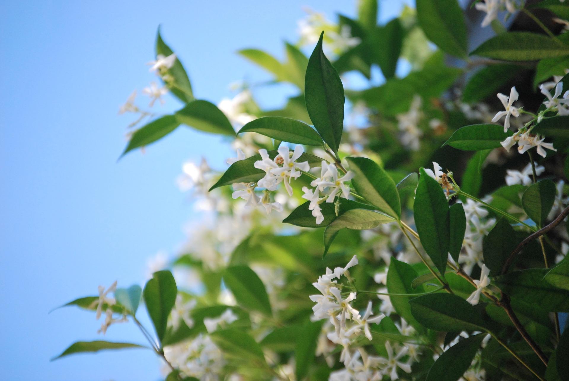 Jasmine is a distincitve note in fragrance.