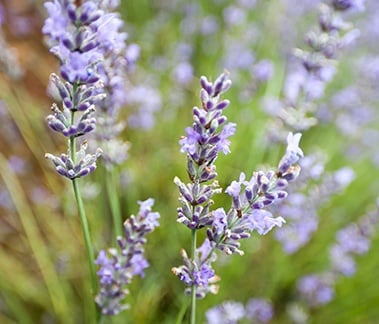 Organic and conventional lavender