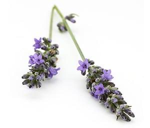 lavender (5) 379x324