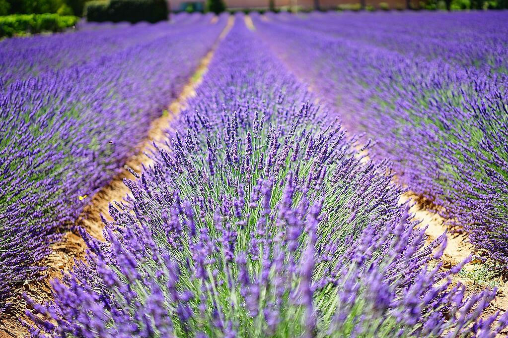 Lavender fields await harvesting and processing.