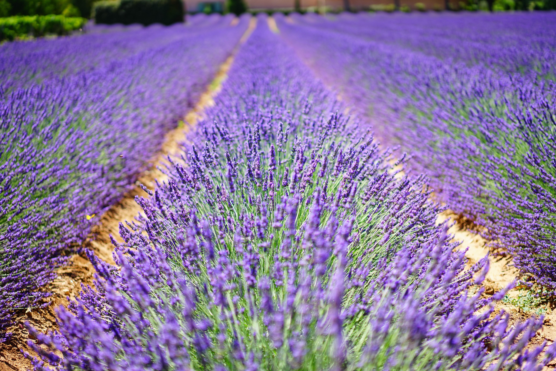 lavender-flowers-1595487-1.jpg