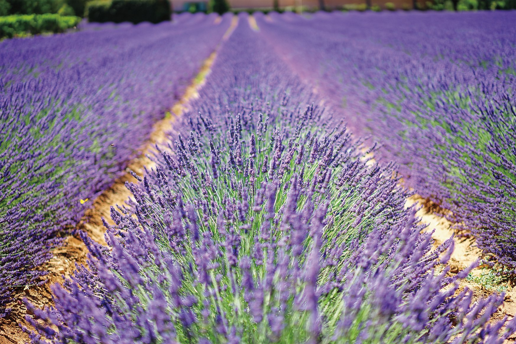 Lavender is used in fine fragrance, candles, and personal care products.