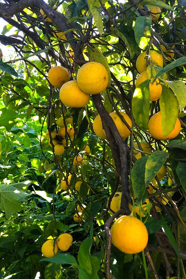 Photo taken by Alan Brown, CSO/Owner, visiting our lemon grower's groves in Italy.