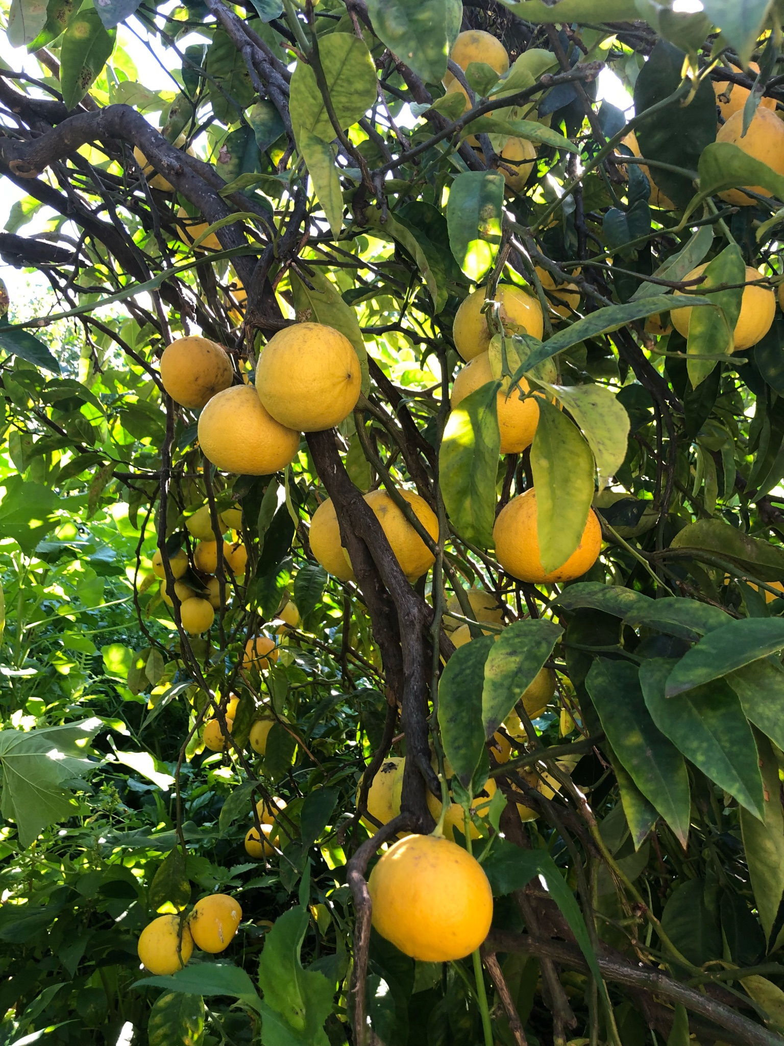 lemon tree_Italy lemon grower visit_2018