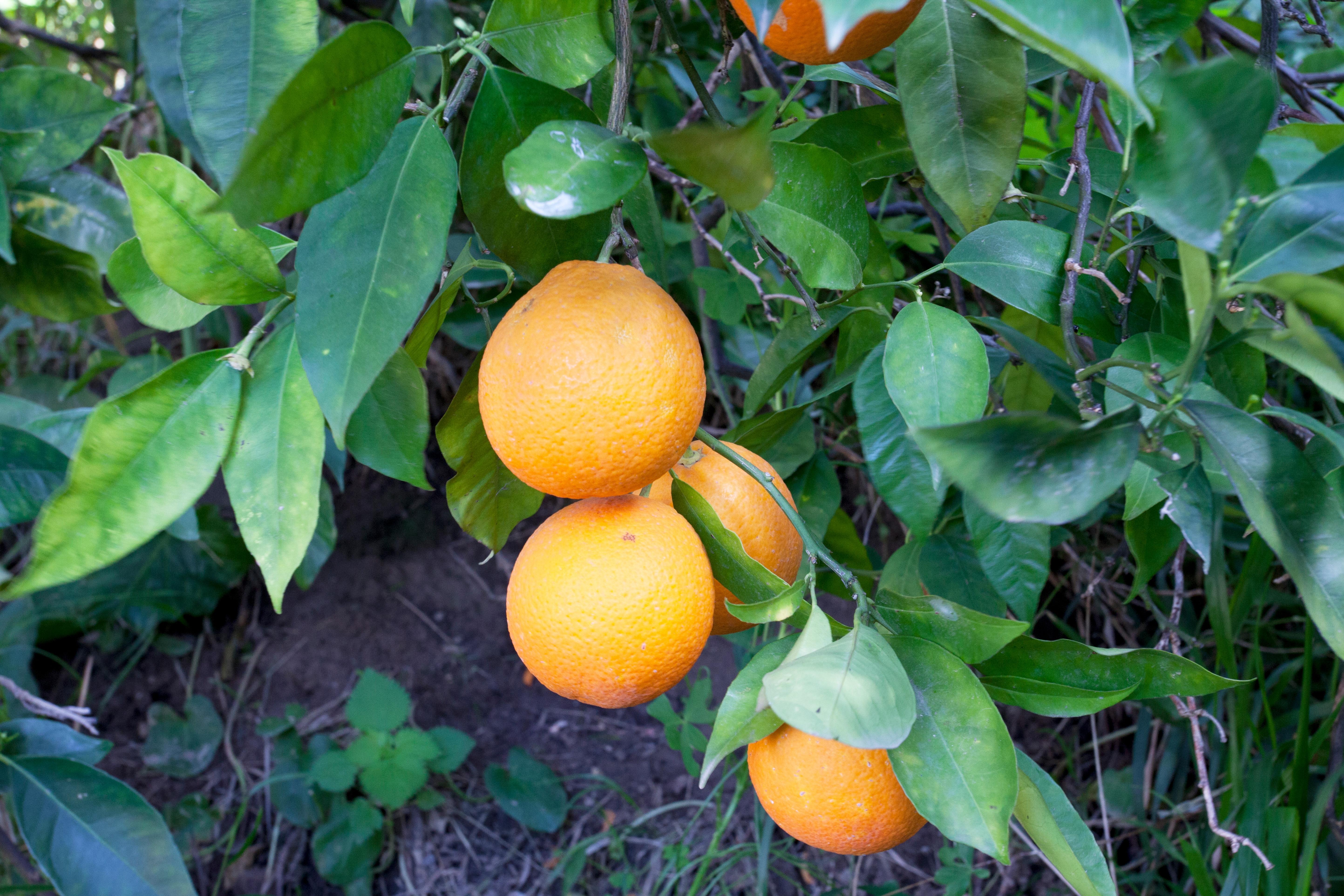 Photo taken by Alan Brown, CSO/Owner, visiting orange grower's groves.