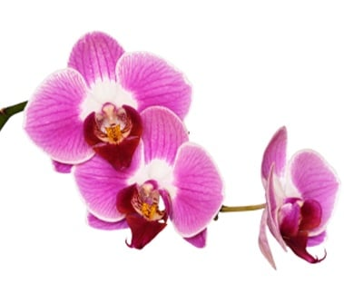 Orchid Flavor