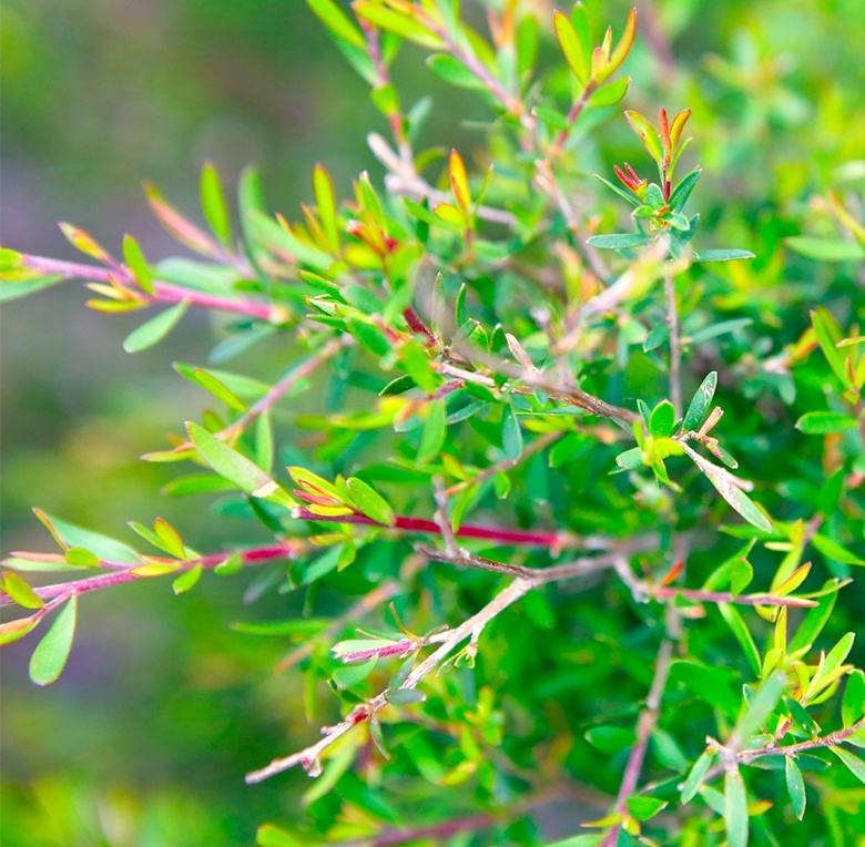 Tea Tree Oil is commonly used in aromatherapy and we know you want organic.