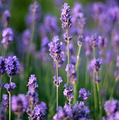 Lavender and lavandin are used in aromatherapy, food, and fragrance.