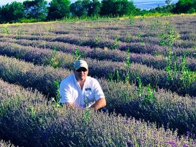 Lavender-crop-2