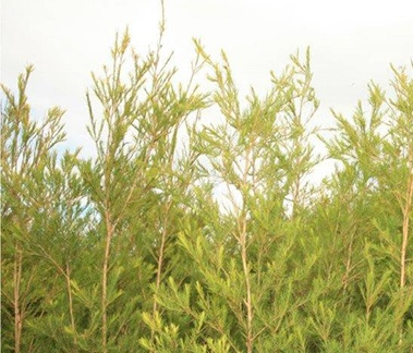 Tea Tree Oil, CAS 68647-73-4