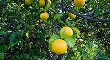 Citrus growing in our grower's groves in Italy.