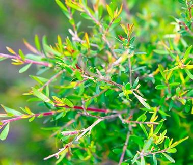 Tea Tree Peppermint