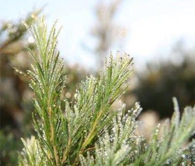Chinese Tea Tree Oil, CAS 68647-73-4