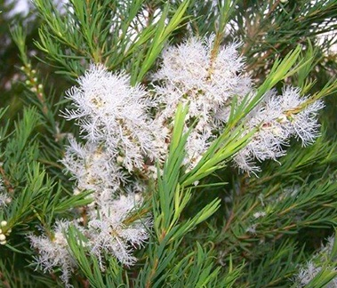 South African Tea Tree Oil, CAS 68647-73-4