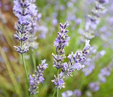 Spike Lavender, CAS 8016-78-2