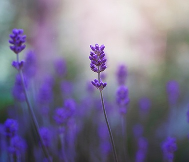 Bulgarian Lavender, CAS 8000-28-0