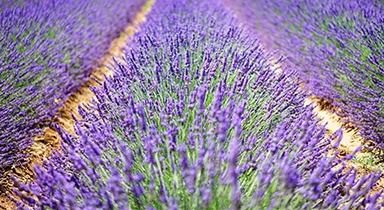 Lavender is used in fragrances, flavors, and as an essential oil.